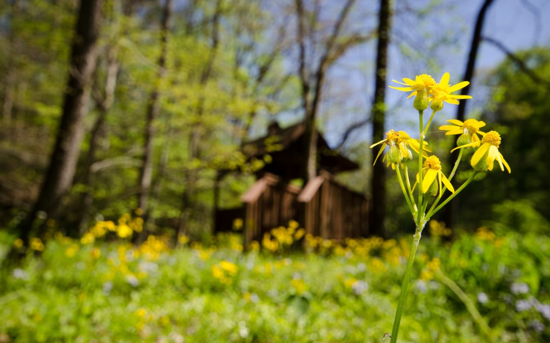 Spring Wildflower Walks and Hikes in the Smoky Mountains